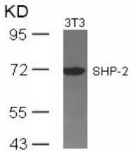 AP02796PU-S - PTPN11 / PTP2C