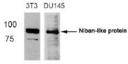 AP08078PU-S - Niban-like protein 1