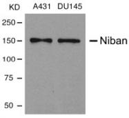 AP02798PU-S - Niban