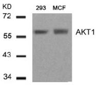 AP08083PU-S - AKT1 / PKB