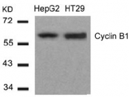 AP09514PU-N - Cyclin B1