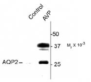 AP31628PU-N - Aquaporin-2 / AQP2