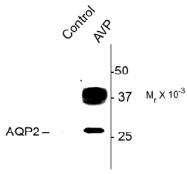 AP31629PU-N - Aquaporin-2 / AQP2