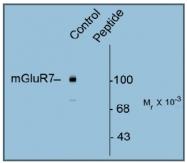 AP31636PU-N - mGluR7 / GRM7
