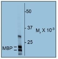 AP20129SU-N - Myelin Basic Protein