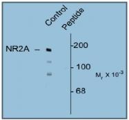 AP31638PU-N - NMDA Receptor 2A