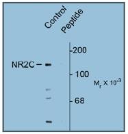 AP31639PU-N - NMDA Receptor 2C