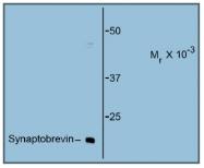 AM31832PU-N - VAMP-1 / Synaptobrevin-1