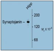 AM31833PU-N - Synaptojanin-1 / SYNJ1