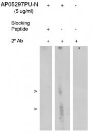 AP05297PU-N - ALOX5AP / FLAP