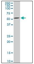 AM31812PU-N - Myelin-associated glycoprotein (MAG)