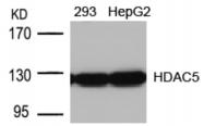 AP02669PU-S - HDAC5