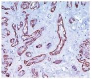 AM10054SU-N - Calponin-1