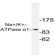AP01364PU-N - ATP1A1