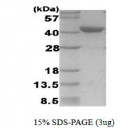 AR39117PU-L - HIF1A / HIF1 alpha