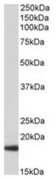 AP31708PU-N - Haptoglobin alpha chain