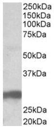 AP16919PU-N - VTCN1 / B7H4