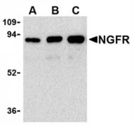 AP05556PU-N - CD271 / NGFR