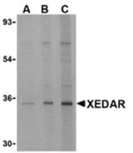 AP05597PU-N - EDA2R / TNFRSF27