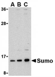 AP05599PU-N - SUMO1