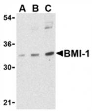 AP05603PU-N - BMI-1 / RNF51
