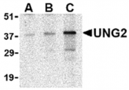 AP05612PU-N - Uracil-DNA glycosylase 2 / Cyclin-O