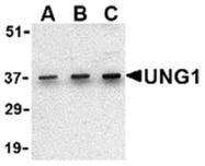 AP05613PU-N - Uracil-DNA glycosylase (UNG)