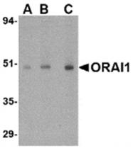 AP05736PU-N - ORAI1