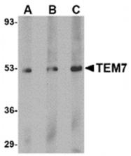 AP05741PU-N - PLXDC1 / TEM7