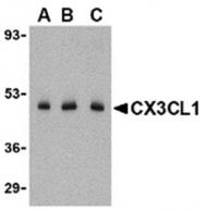 AP05785PU-N - Fractalkine / CX3CL1