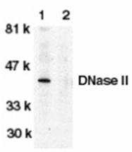 AP05789PU-N - Deoxyribonuclease-2-alpha