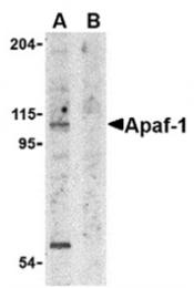 AP05812PU-N - APAF1