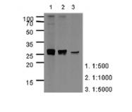 AM39003PU-N - Apolipoprotein A I / APO AI