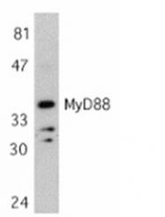 SP1273P - MYD88