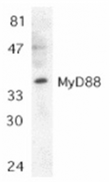 SP1274P - MYD88