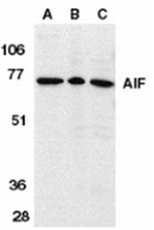 SP1293P - AIFM1 / AIF