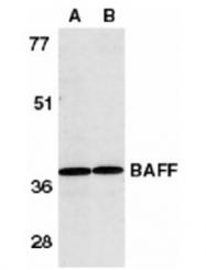 AP05831PU-N - CD257 / BAFF