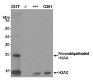 SP2107P - Histone H2A.x