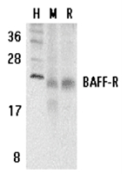 SP2134P - CD268 / BAFFR