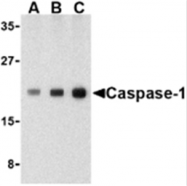 SP2146P - Caspase-1