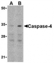 SP2145P - Caspase-4