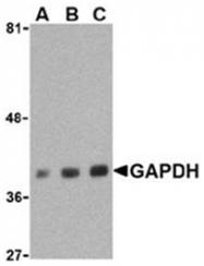 SP2162P - GAPDH