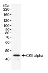 AP05321PU-N - Casein kinase II subunit alpha