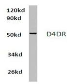 AP01422PU-N - Dopamine D4 receptor