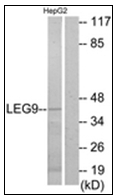 AP31753PU-N - Galectin-9