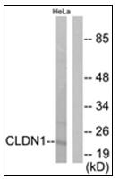 AP31760PU-N - Claudin-1 / CLDN1
