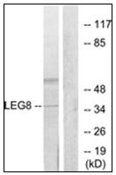 AP31763PU-N - Galectin-8