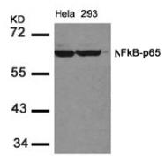 AP02557PU-S - RELA / NF-kB p65