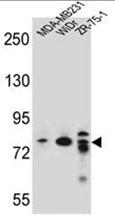 AP50235PU-N - ARHGAP22