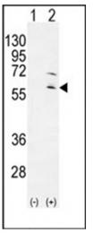 AP53747PU-N - RPS6KL1